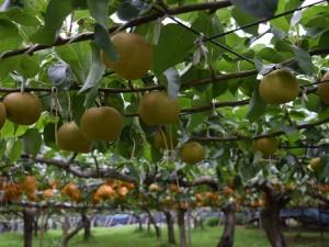 収穫を待つ梨たち